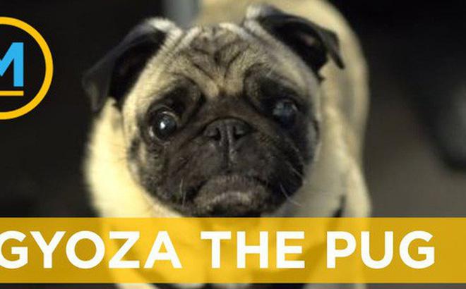 """Tin được không: Chú chó pug ngơ ngác này sẽ """"đại diện"""" người ngoài hành tinh theo cách chưa từng thấy"""