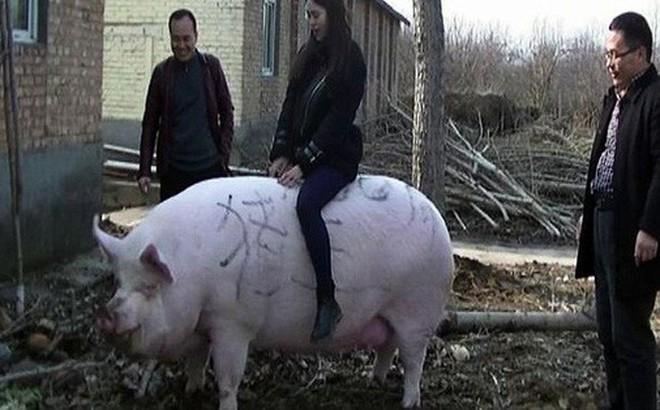 Trung Quốc nuôi lợn to như gấu Bắc Cực để đối phó khủng hoảng thịt lợn