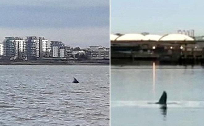 Cá voi lưng gù bơi lạc tới sông Thames đã chết