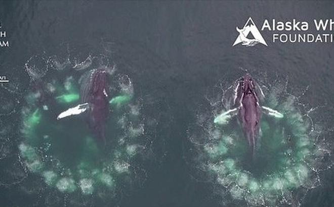 """Cảnh ngoạn mục: Cá voi lưng gù dùng """"bẫy"""" bóng nước để bắt con mồi"""