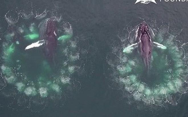 """Video cực hiếm ghi lại quá trình cá voi """"đan lưới"""" săn mồi: Cảnh tượng được xem là kỳ vĩ nhất của đại dương"""
