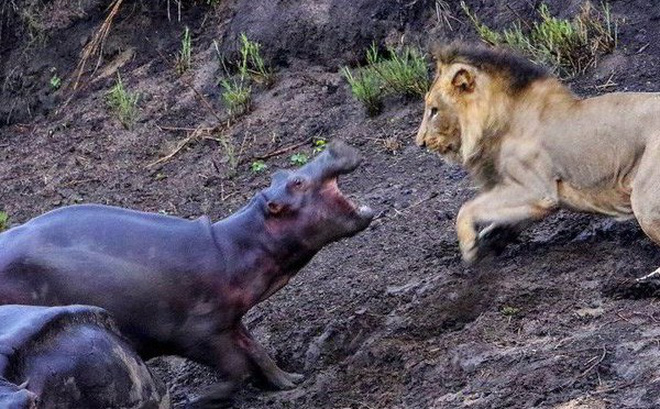 Soup sáng: Hà mã con liều mạng đuổi sư tử háu đói, bảo vệ mẹ bị bệnh