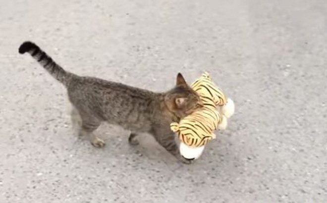 Video: Hài hước chú mèo đột nhập vào nhà hàng xóm để lấy trộm hổ bông
