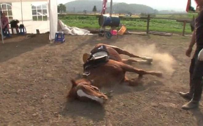 Hài hước chú ngựa giả chết mỗi khi bị người cưỡi