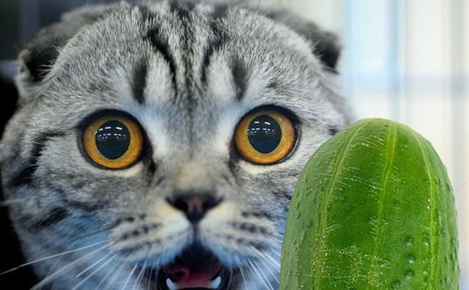 'Đầu gấu' là thế, nhưng vì sao loài mèo hễ nhìn thấy dưa chuột là sợ khiếp vía?