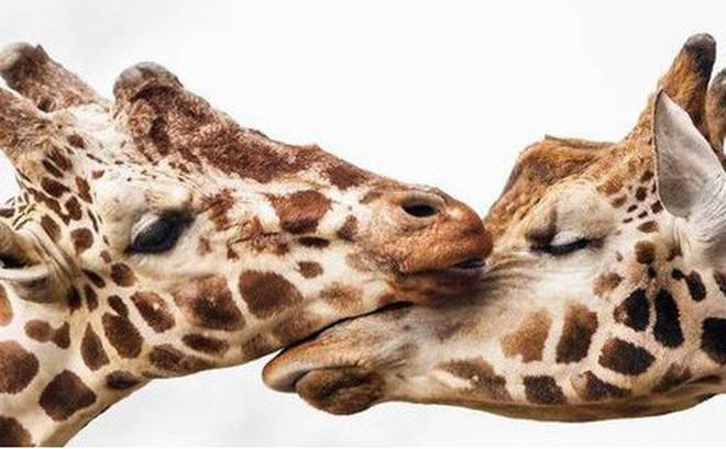 Khoảnh khắc thân mật của các loài động vật khiến chúng ta ghen tỵ