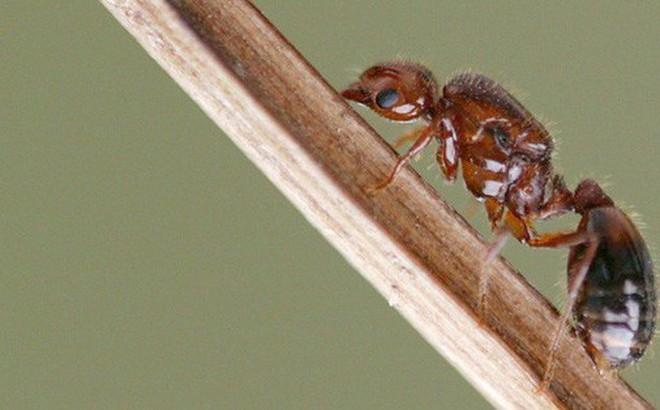 Nhật Bản nguy cơ mất hàng tỷ USD vì kiến lửa đỏ