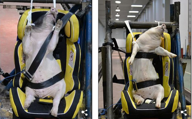 Phẫn nộ cảnh dùng lợn sống làm hình nộm thử tai nạn xe hơi tại Trung Quốc