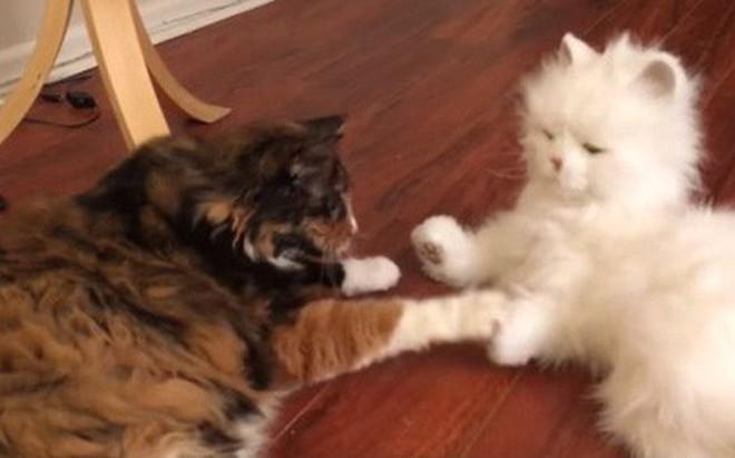 Phản ứng hài hước của những chú mèo khi gặp 1 chú mèo máy