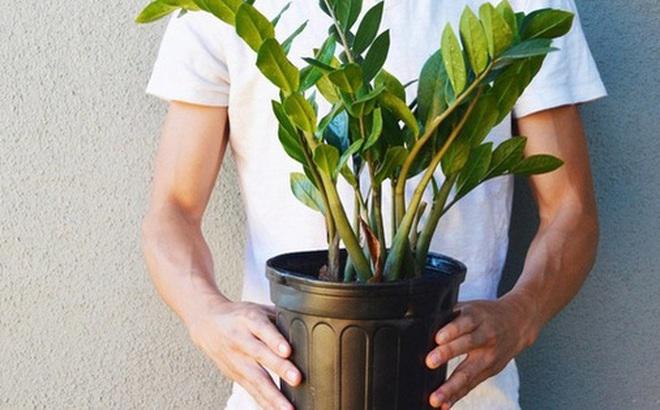 Bé 15 tháng tuổi nguy kịch sau khi cho lá kim tiền vào miệng, chuyên gia cảnh báo gia đình nào trồng cây phải cực chú ý!