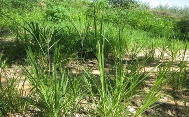 Thứ cỏ mọc dại ở Việt Nam chỉ trâu bò ăn, dân Trung Quốc coi là thuốc quý