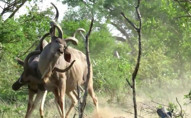 Linh dương vằn Kudu đang húc nhau thì bị sư tử tóm gọn