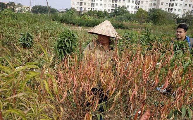 Hà Nội: Người dân 'khóc ròng' vì hàng nghìn gốc đào chết khô