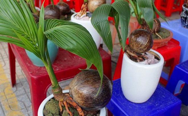 Mãn nhãn bonsai dừa mini siêu độc chơi Tết
