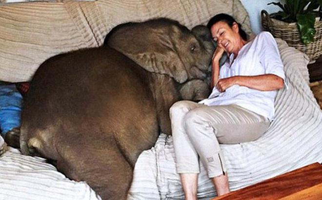 Sau khi được cứu sống, chú voi không ngừng 'rình rập' vị ân nhân của mình bất kể ngày đêm