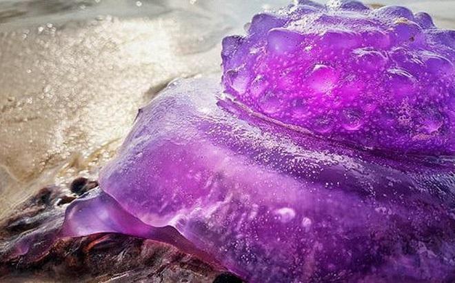 Bắt gặp loài sứa tím quý hiếm, người dân ngỡ sinh vật ngoài hành tinh