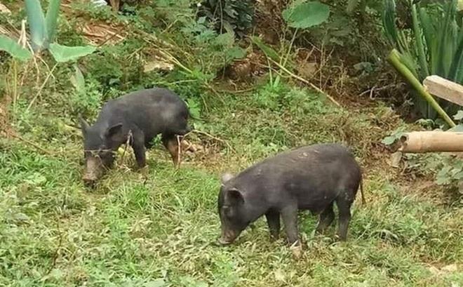 37 ngày nữa mới Tết, lo sợ thực phẩm bẩn, bà nội trợ Việt đã nháo nhác đặt lợn rừng ăn Tết