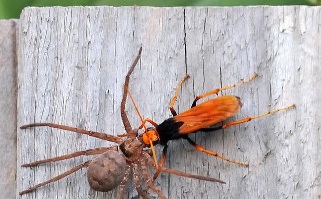 Trận chiến kinh hoàng trong giới côn trùng: Ong bắp cày chạm trán nhện khổng lồ