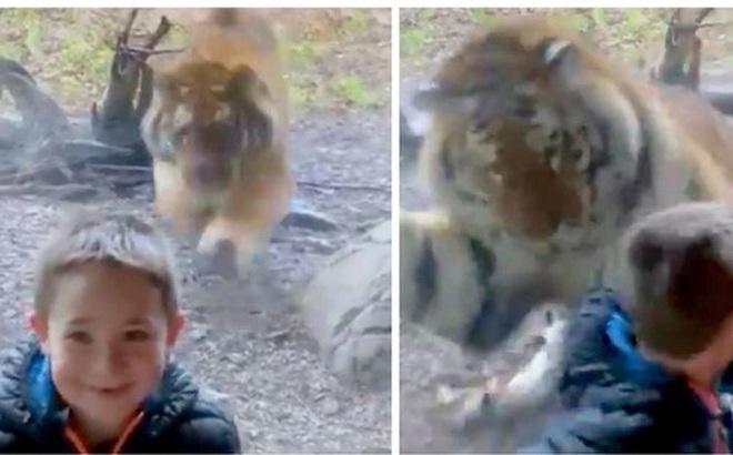 Đứng tim trước khoảnh khắc con hổ ở sở thú bất ngờ lao tới cố gắng vồ lấy cậu bé như đang săn mồi