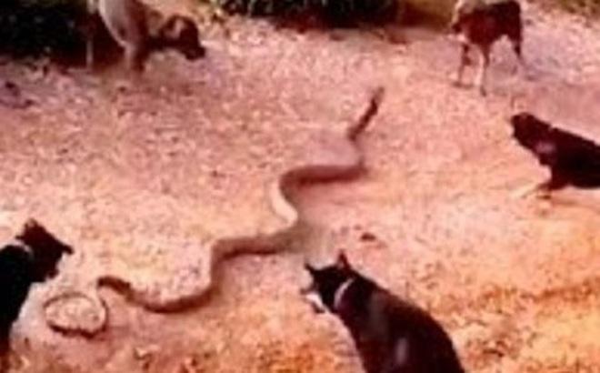 Video: Màn giao chiến sinh tử giữa 5 chú chó với rắn hổ mang chúa