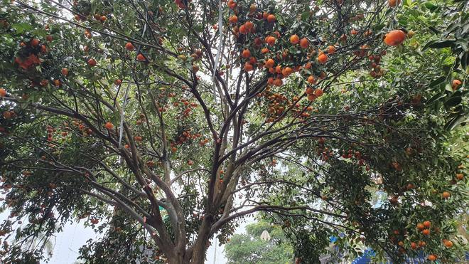 Chiêm ngưỡng cây quýt cổ thụ chưng Tết được đào từ rừng về có giá 100 triệu đồng - Ảnh 12.