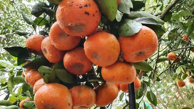 Chiêm ngưỡng cây quýt cổ thụ chưng Tết được đào từ rừng về có giá 100 triệu đồng - Ảnh 8.