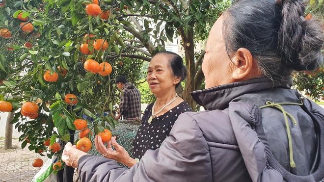 Chiêm ngưỡng cây quýt cổ thụ chưng Tết được đào từ rừng về có giá 100 triệu đồng - Ảnh 14.