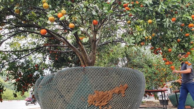 Chiêm ngưỡng cây quýt cổ thụ chưng Tết được đào từ rừng về có giá 100 triệu đồng - Ảnh 11.
