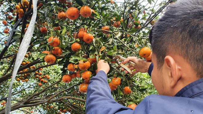 Chiêm ngưỡng cây quýt cổ thụ chưng Tết được đào từ rừng về có giá 100 triệu đồng - Ảnh 10.