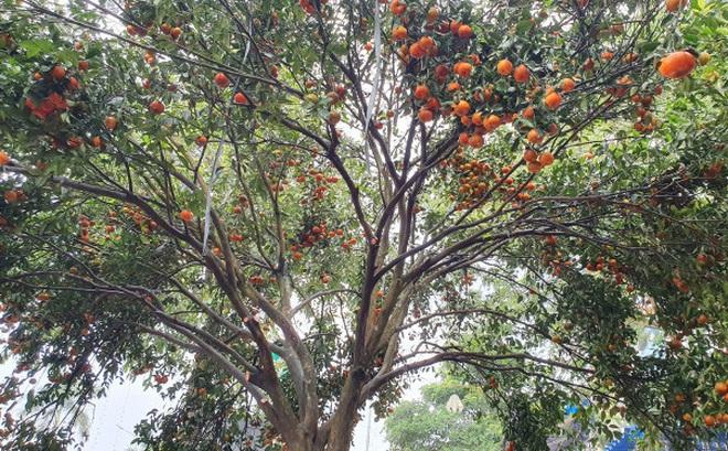 Chiêm ngưỡng cây quýt cổ thụ chưng Tết được đào từ rừng về có giá 100 triệu đồng