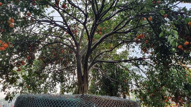Chiêm ngưỡng cây quýt cổ thụ chưng Tết được đào từ rừng về có giá 100 triệu đồng - Ảnh 2.