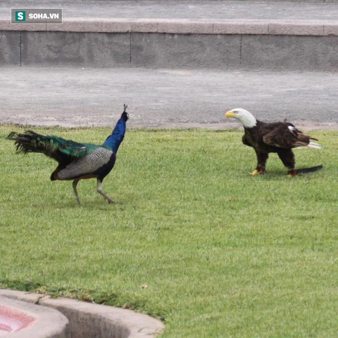 Chim công đại chiến đại bàng: Kẻ tấn công bất ngờ đã giành chiến thắng! - Ảnh 1.