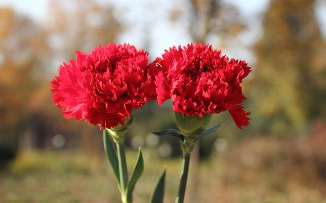 Vừa dễ cắm lại vừa đẹp, hoa cẩm chướng chính là loại hoa không thể thiếu trong ngày Tết - Ảnh 1.