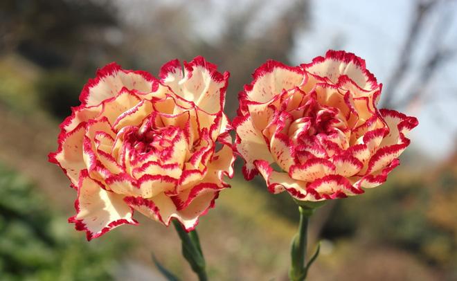 Vừa dễ cắm lại vừa đẹp, hoa cẩm chướng chính là loại hoa không thể thiếu trong ngày Tết - Ảnh 3.