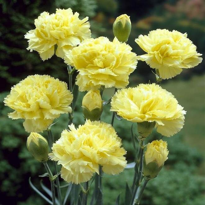 Vừa dễ cắm lại vừa đẹp, hoa cẩm chướng chính là loại hoa không thể thiếu trong ngày Tết - Ảnh 6.