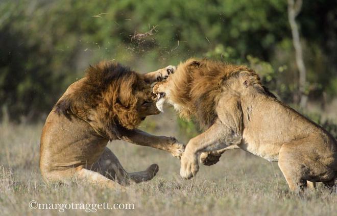 Sư tử già bị đám trẻ hành lên hành xuống vì lỡ đi lạc địa bàn - Ảnh 2.