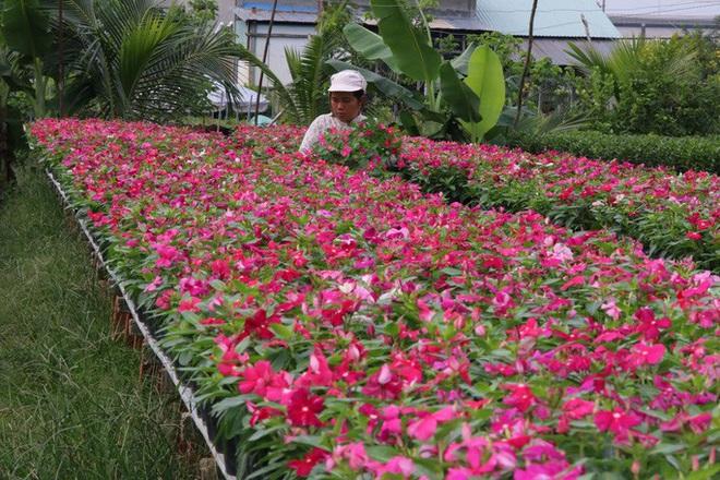 Nhiều chủng loại hoa mới, lạ ở Sa Đéc tấp nập lên phố - Ảnh 5.