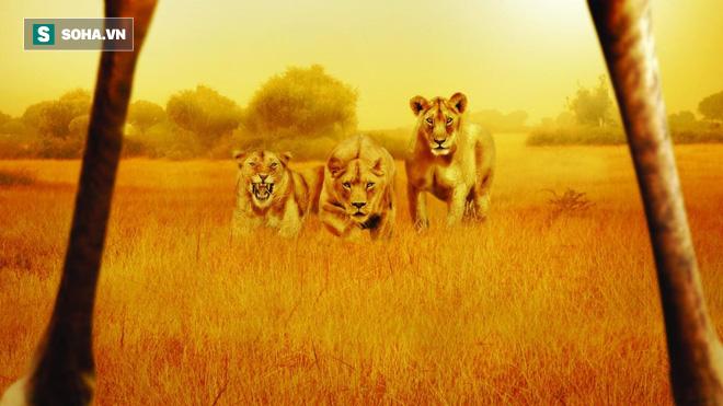 Hươu cao cổ bị bầy sư tử bao vậy tứ phía, nó đã làm gì khiến kẻ thù khiếp sợ? - Ảnh 1.