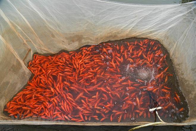 Làng nghề cá chép đỏ Thủy Trầm tất bật trước ngày ông Công ông Táo - Ảnh 19.