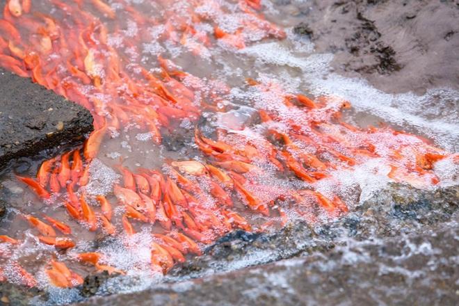 Làng nghề cá chép đỏ Thủy Trầm tất bật trước ngày ông Công ông Táo - Ảnh 9.