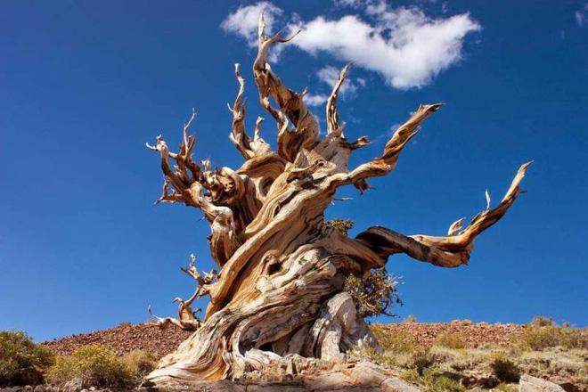 Bí ẩn loài cây sống cả nghìn năm tuổi - Ảnh 2.