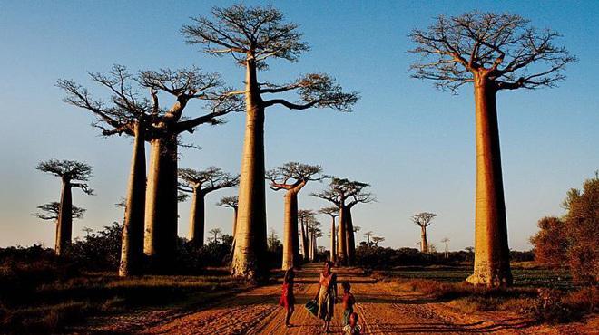 Bí ẩn loài cây sống cả nghìn năm tuổi - Ảnh 1.