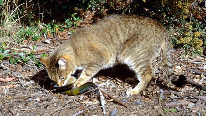 Đây là lý do tại sao những con mèo đang làm cho thảm họa cháy rừng ở Úc thêm tồi tệ - Ảnh 2.