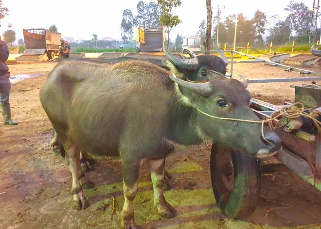Ghé chợ trâu bò lớn nhất Đông Nam Á ngày cận Tết - Ảnh 11.