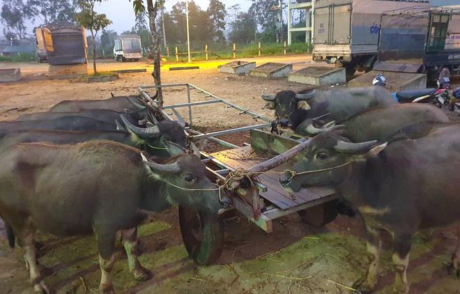 Ghé chợ trâu bò lớn nhất Đông Nam Á ngày cận Tết - Ảnh 9.
