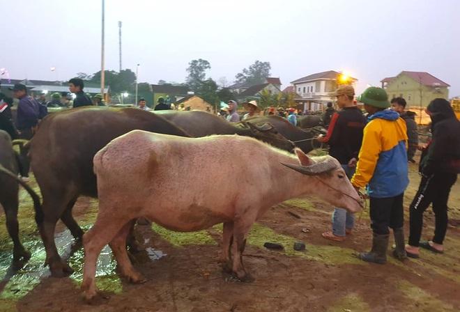 Ghé chợ trâu bò lớn nhất Đông Nam Á ngày cận Tết - Ảnh 6.