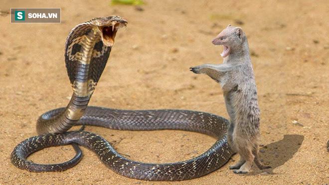 Tung đòn chính xác, cầy Mangut hạ gục rắn hổ mang trong nháy mắt - Ảnh 1.