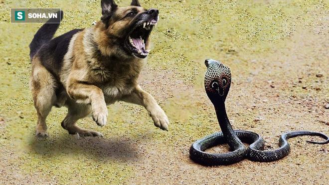 Chó Phú Quốc thông minh, tiêu diệt rắn hổ mang để bảo vệ gia đình chủ - Ảnh 1.