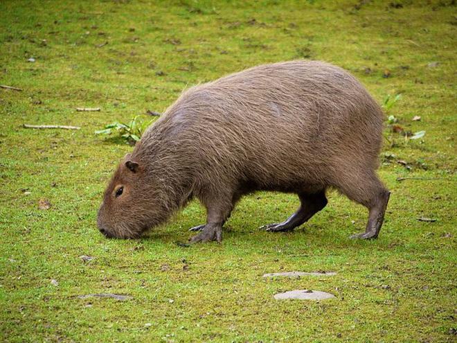 1001 thắc mắc: Loài chuột nào dài nhất thế giới? - Ảnh 1.