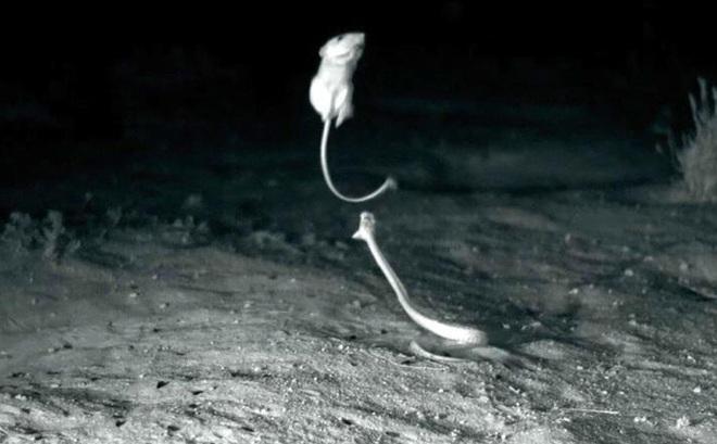 Video: Chuột 'tung cước' đá rắn chuông kịch độc theo phong cách ninja